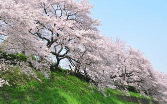 満開の桜並木を楽しむ!