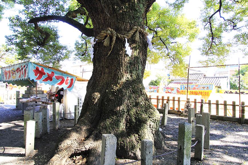 星宮社敷地内の大樹。樹齢何年でしょうか・・・?_MG_9067