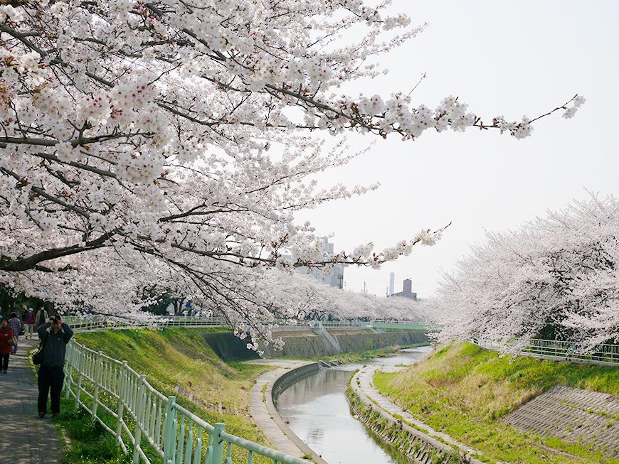 春になれば川沿いの桜が満開!ウォーキングコースです_P1000193s