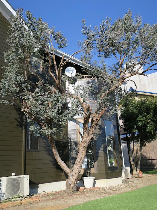 ユーカリの木。樹齢20年。ユーカリの木かげにて リッチな暮らしが叶う家。 Ladies only【ユーカリの木の家】