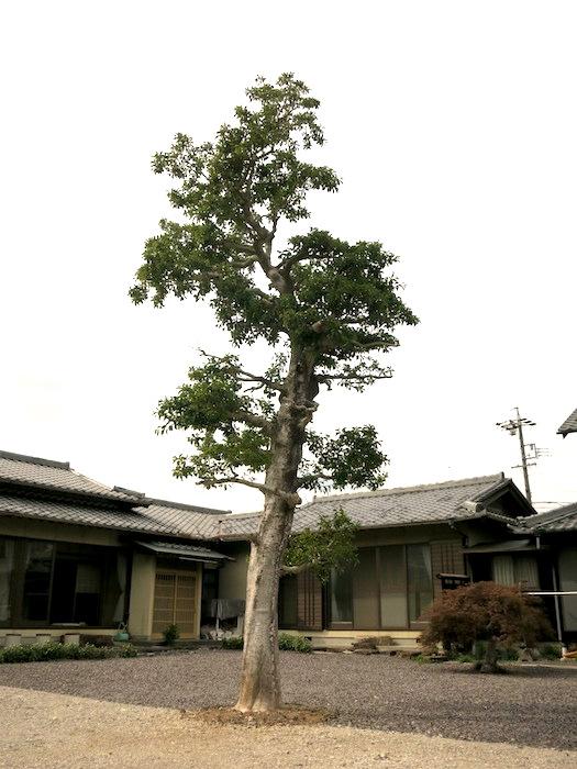 守護樹。幸せリノベーションプロジェクト。ブランチアベニューIMG_0444
