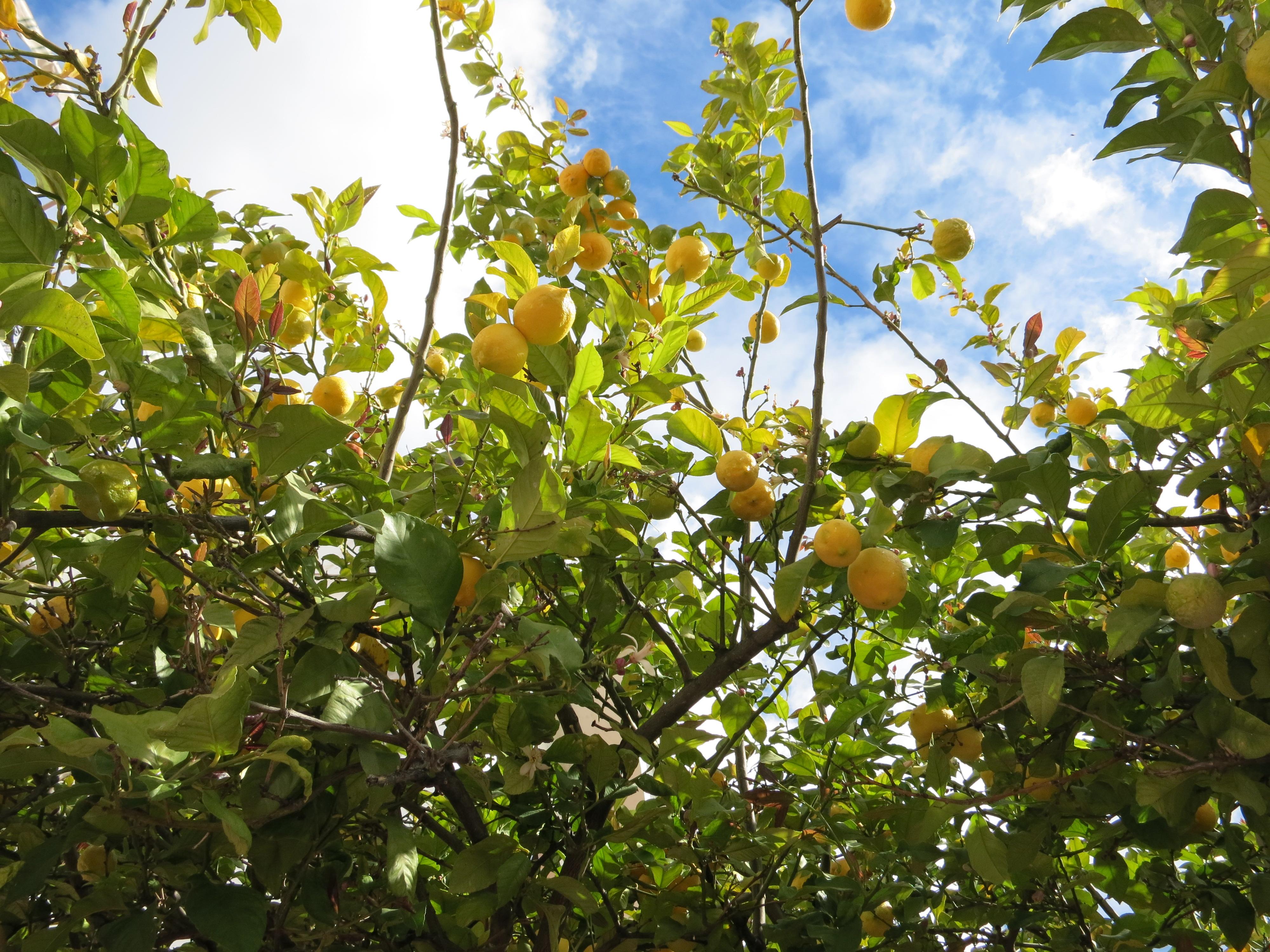 IMG_4794_レモンと枝葉の間からのぞく青空が爽やか♪ースペイン アンダルシアの白い村:フリヒリアナよりー