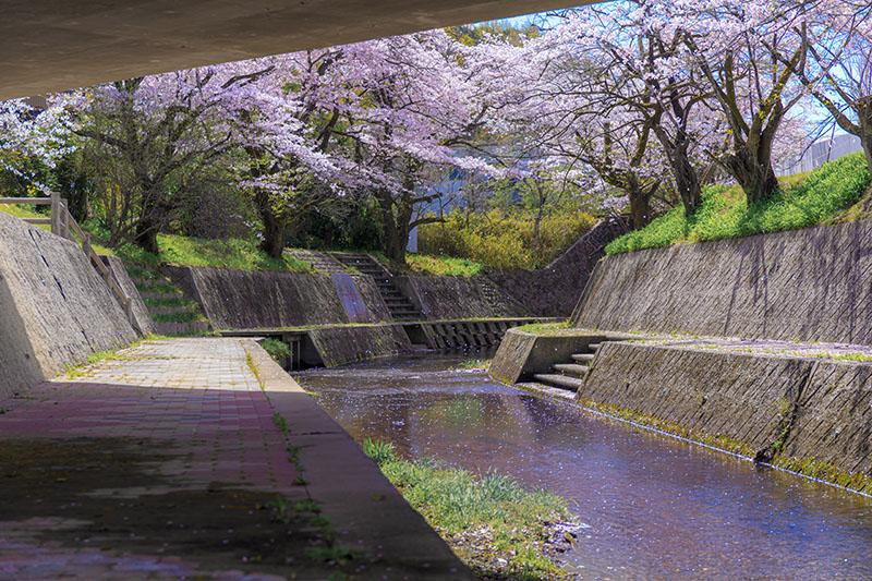 代官屋敷 桜